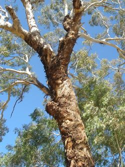 Beautiful gum tree growing in the Capertee Valley NSW