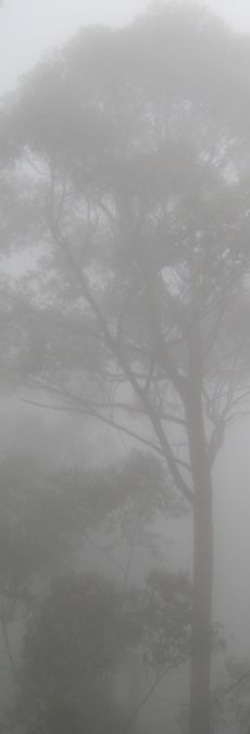 Gum in mist © Caroline Jones