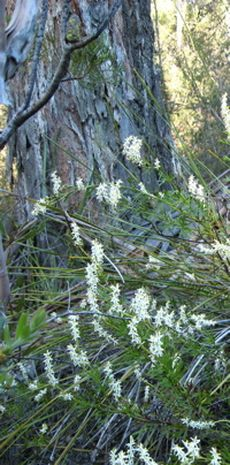 bushland flowers 2 © Caroline Jones
