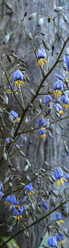 dianella 2 © Caroline Jones