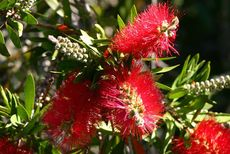 Crimson Bottlebrush © Seedsticks