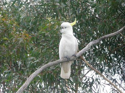 Cockatoos in Trees © Planet Ark