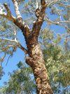 Gum Tree in the Capertee Valley NSW © Caroline Jones